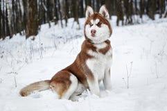 Portrait d'un chien enroué dans la forêt d'hiver Photo libre de droits