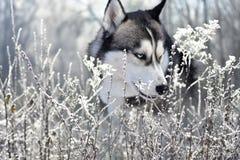 Portrait d'un chien enroué sibérien de race dans une forêt givrée photographie stock libre de droits