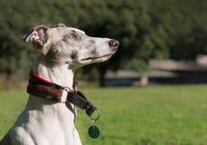 Portrait d'un chien masculin de whippet Photos stock