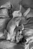 Portrait d'un chien mignon se situant dans le lit Image stock