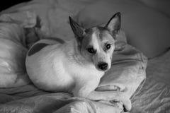 Portrait d'un chien mignon se situant dans le lit Photographie stock libre de droits