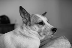 Portrait d'un chien mignon se situant dans le lit Photos libres de droits