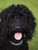 Portrait d'un chien noir de Cockapoo Images libres de droits