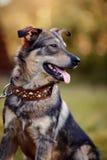 Portrait d'un chien non de race. Photographie stock