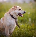 Portrait d'un chien non de race de beige dans un vieux collier. Photos stock