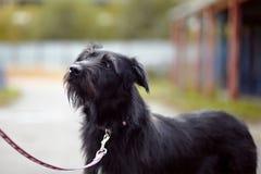 Portrait d'un chien non de race de noir. Images stock