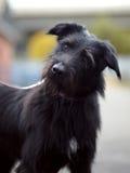 Portrait d'un chien non de race de noir. Photos stock
