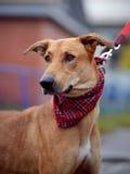 Portrait d'un chien non de race de rouge. Images libres de droits