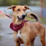 Portrait d'un chien non de race de rouge. Photographie stock