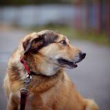 Portrait d'un chien non de race de rouge. Images stock