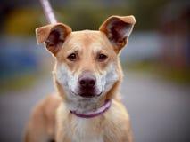 Portrait d'un chien non de race de rouge. Image stock