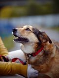 Portrait d'un chien non de race de rouge Images libres de droits