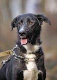 Portrait d'un chien non de race noir et blanc Photographie stock libre de droits