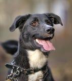 Portrait d'un chien non de race noir et blanc. Photos libres de droits