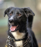 Portrait d'un chien non de race noir et blanc Photos libres de droits