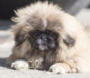 Portrait d'un chien pelucheux Photographie stock
