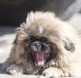 Portrait d'un chien pelucheux Photographie stock libre de droits
