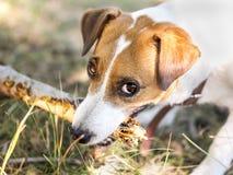 Portrait d'un chien rongeant une branche d'un arbre Chien de Jack Russell Terrier jouant avec le chien en bois de bâton regardant Photo libre de droits