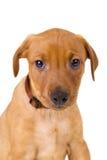 Portrait d'un chiot allemand rouge de race de Pinscher Photographie stock