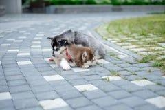 Portrait d'un chiot de chien de traîneau sibérien marchant dans la cour Le petit chiot mignon du chien de traîneau sibérien pours Photo stock
