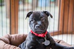 Portrait d'un chiot noir de bull-terrier du Staffordshire Photos stock