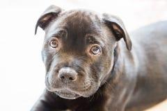 Portrait d'un chiot noir de bull-terrier du Staffordshire Photos libres de droits