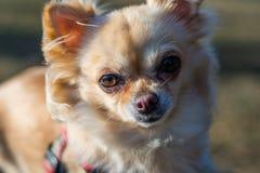 Portrait d'un chiwawa mignon, tir en gros plan, chien regardant autour Images libres de droits