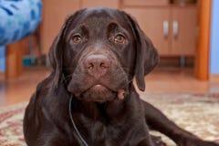 Portrait d'un chocolat labrador retriever (âge de chiot 5,0 mois Photos stock