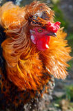 Portrait d'un coq coloré fier Photo stock