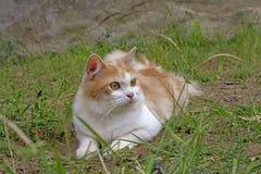 Portrait d'un ?cossais curieux de chat directement d'isolement sur le fond naturel images stock