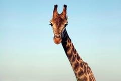 Portrait d'un cou et d'un visage énormes de girafe Photographie stock