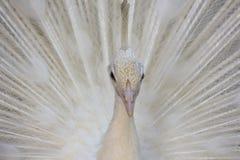 Portrait d'un cristatus blanc de pavo de paon avec les plumes augmentées photographie stock libre de droits