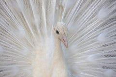 Portrait d'un cristatus blanc de pavo de paon avec les plumes augmentées photographie stock