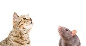 Portrait d'un droit écossais de chat curieux et d'un rat Photos stock