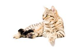 Portrait d'un droit écossais de jeune chat Photo stock