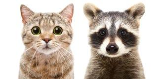 Portrait d'un droit écossais et d'un raton laveur de chat mignon Image stock