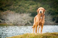 Portrait d'un fond humide de lac golden Retriever Photographie stock libre de droits
