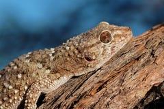 Portrait d'un gecko de bibron photos stock