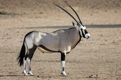 Portrait d'un Gemsbok masculin adulte, Gazella d'oryx image stock