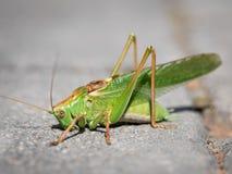 Portrait d'un grand Bush-cricket vert se reposant sur le trottoir image stock