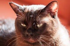 Portrait d'un grand chat masculin Photo libre de droits