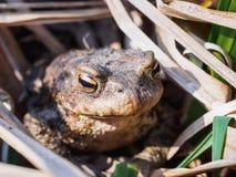 Portrait d'un grand grand crapaud dans l'herbe sèche images stock