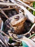 Portrait d'un grand grand crapaud dans l'herbe s?che photo stock