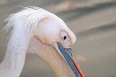 Portrait d'un grand pélican blanc ou oriental Photos stock