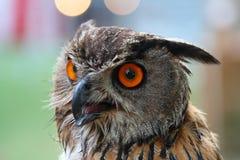 Portrait d'un hibou avec les yeux rouges Photographie stock libre de droits