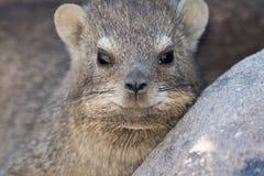 Portrait d'un hyrax de falaise Photos libres de droits