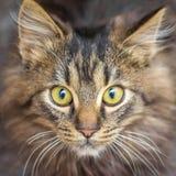 Portrait d'un jeune chat rayé brun avec un look_ attentif photos stock