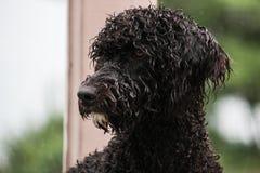 Portrait d'un jeune chien d'eau portugais Image stock