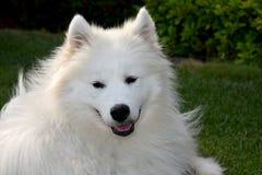 Portrait d'un jeune chien de samoyed photos libres de droits