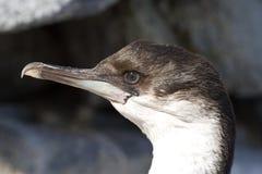 Portrait d'un jeune cormoran aux yeux bleus Image stock